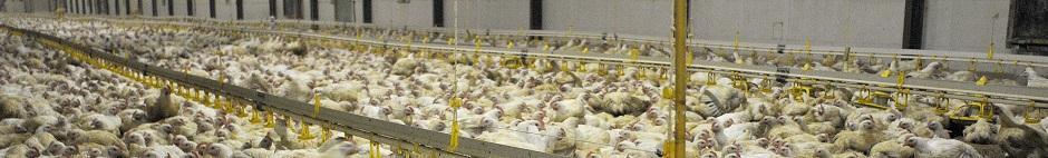 Poulets lourds séxés de souche Ross 708 élevés au sol et agés de 43 jours © INRA