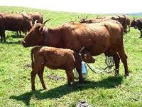 Salers cow