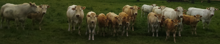 image d'illustration d'un troupeau de bovins copyright Pierre MISCHLER