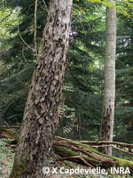 Phytophthora on oak